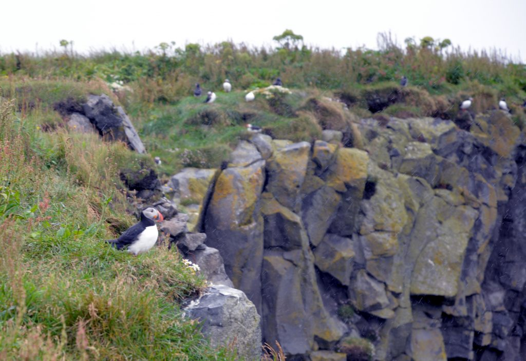 Dyrholaey nature reserve in Iceland offers beautiful views of Puffins up close