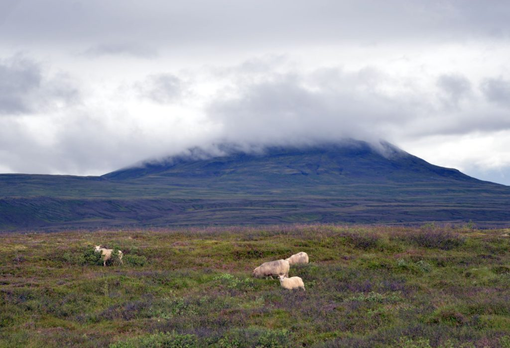 At Thingvellir, we were treated to our first encounter with Icelandic sheep